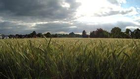 dzień lata gorąca pola pszenicy Wieczór w wiosce zbiory