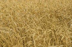dzień lata gorąca pola pszenicy zboża żniwo na rolniczym polu agrarny sektor produkcja Obrazy Stock