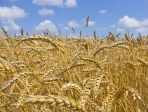 dzień lata gorąca pola pszenicy zboża żniwo na rolniczym polu agrarny sektor produkcja Fotografia Stock