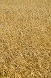 dzień lata gorąca pola pszenicy zboża żniwo na rolniczym polu agrarny sektor produkcja Obrazy Royalty Free