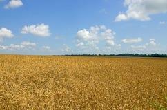 dzień lata gorąca pola pszenicy zboża żniwo na rolniczym polu agrarny sektor produkcja Zdjęcie Royalty Free