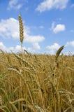 dzień lata gorąca pola pszenicy zboża żniwo na rolniczym polu agrarny sektor produkcja Zdjęcia Royalty Free