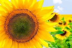 dzień lato słonecznik pogodny Obrazy Stock