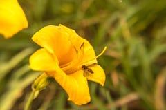 Dzień lelui n pszczoła Obraz Stock
