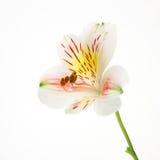 dzień lilie Obraz Stock