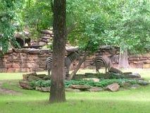 Dzień przy zoo zebr relaksować Obrazy Royalty Free