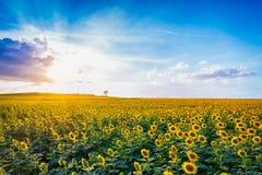 dzień rolnych poly mały słonecznikowy pogodny zdjęcia stock