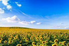 dzień rolnych poly mały słonecznikowy pogodny fotografia stock