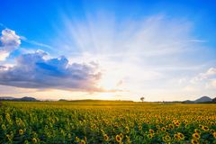 dzień rolnych poly mały słonecznikowy pogodny obraz royalty free