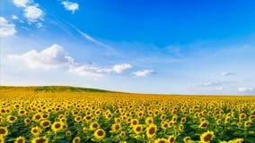 dzień rolnych poly mały słonecznikowy pogodny obrazy stock