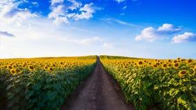 dzień rolnych poly mały słonecznikowy pogodny zdjęcie royalty free