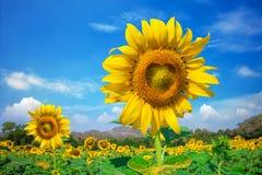dzień rolnych poly mały słonecznikowy pogodny Fotografia Royalty Free