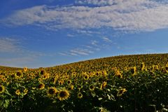 dzień rolnych poly mały słonecznikowy pogodny Zdjęcie Stock
