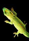 dzień gekonu gigant Madagascar Obraz Stock