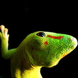dzień gekonu gigant Madagascar Obraz Royalty Free