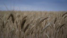 dzie? lata gor?ca pola pszenicy Zako?czenie pogody sztormowej lata czas zbiory wideo