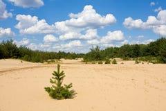 dzień lato lasowy sosnowy Zdjęcia Stock