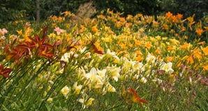 dzień leluj summerflowers Zdjęcie Royalty Free