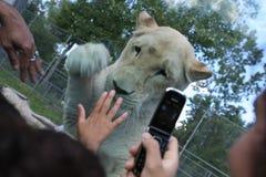 Dzieci bawić się z lwicą w safari Zdjęcia Stock