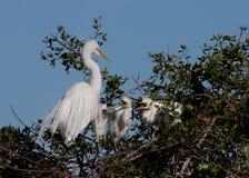 dzieci egret głodna matka dwa Fotografia Royalty Free