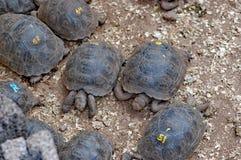 Dzieci gigantyczni tortoises, Galapagos fotografia royalty free