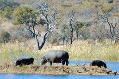 dzieci hipopotama matka Zdjęcia Stock