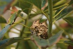 Dzieci Hummingbirds Gniazdować zdjęcia stock