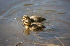 Dzieci kaczątka Zdjęcie Royalty Free