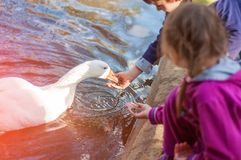 Dzieci karmi gąski w stawie Dbać dla zwierząt fotografia royalty free