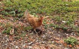 Dzieci kurczątka, nazwani gypsy kurczaki lub Cubalaya miejscowymi, fotografia royalty free