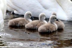 Dzieci niemi łabędź w wodzie (signets) zdjęcie royalty free