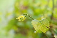 Dzieci winogrona Zbliżenie widok w początek scenie Zieleni kwiaty obrazy stock