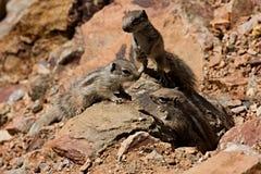 Dzieci zmielone wiewiórki w górach północny Maroko Obraz Royalty Free