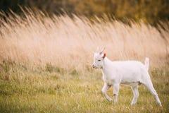 Dzieciak kózka Pasa W wiosny trawie Rolni dzieci zwierzęta obraz royalty free