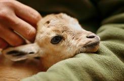 dzieciak nubian ibex Obrazy Royalty Free