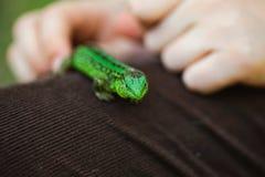 Dzieciak ręka trzyma zielonej jaszczurki Fotografia Stock
