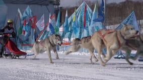 Dzieciak rywalizacji sania psa rasa Dyulin Beringia Kamchatka zbiory wideo