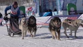 Dzieciak rywalizacji sania Psi Ścigać się Dyulin Beringia zbiory wideo