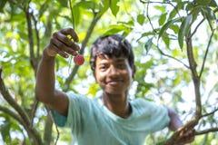 Dzieciak skuba lychee od drzewa przy ranisonkoil, thakurgoan, Bangladesz Obraz Stock