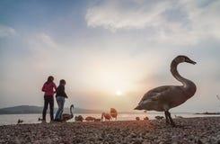 dzieciaki bawić się w jeziorze Varese podczas zmierzchu z łabędź fotografia stock