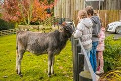Dzieciaki bierze opiekę i karmienie krowa na gospodarstwie rolnym obrazy royalty free