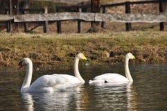 dzieciaki uciszają rodziców łabędzich Wielki biały wodny ptak _ Obraz Royalty Free
