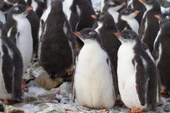 Dziecina Gentoo pingwinu kolonia Zdjęcie Royalty Free