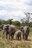 dziecka łydkowa kokosowa słonia rodziny matka blisko palmowego trzonu Mara kenya masai Zdjęcia Stock