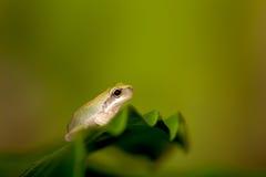 dziecka żaby liść drzewo Zdjęcia Royalty Free