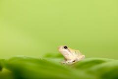 dziecka żaby liść drzewo Obraz Royalty Free