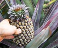 Dziecka ananasowy owocowy dorośnięcie na roślinie Fotografia Stock