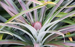 Dziecka ananasowy owocowy dorośnięcie na roślinie Zdjęcie Stock