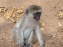 Dziecka błękita balled małpa zdjęcie royalty free