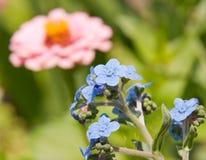 Dziecka błękita Chińskiej niezapominajki kwiaty Zdjęcie Stock